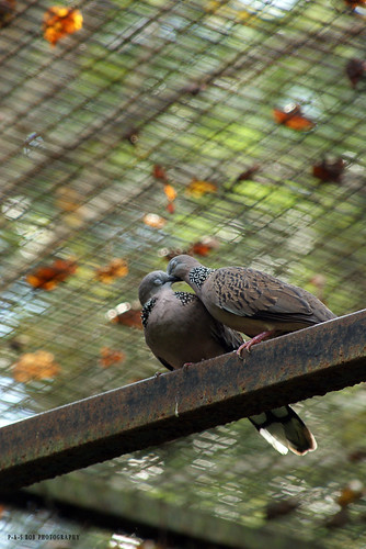 Spotted Dove (Streptopelia chinensis) in love!