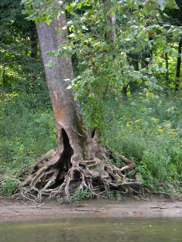 some cool tree roots along the river bank