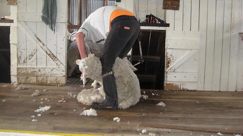 Craig the shearer