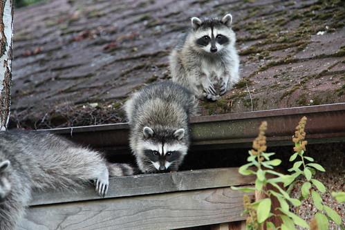 Raccoon Summer Party