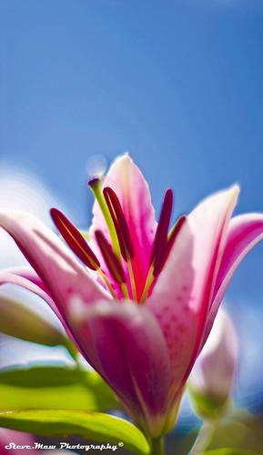 sunshine lilly