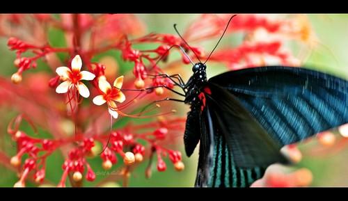 Great Mormon Swallowtail