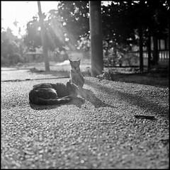 Sunbathing (>>mansur::amir<<) Tags: blackandwhite bw 120 6x6 tlr film monochrome backlight analog rolleiflex cat mediumformat square blackwhite sunbath malaysia kodaktmax400 melaka sunray planar carlzeiss 28f ilfordddx rolleiflex28fplanar serkampantai manilovefilm