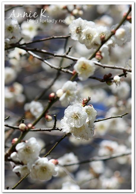 武陵農場重瓣白梅