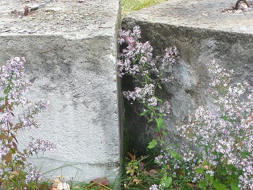 Asters with concrete blocks