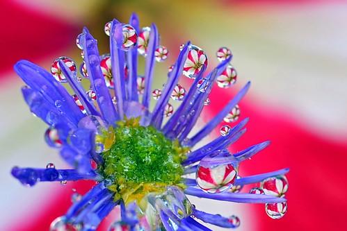petunia peppermint galaxy