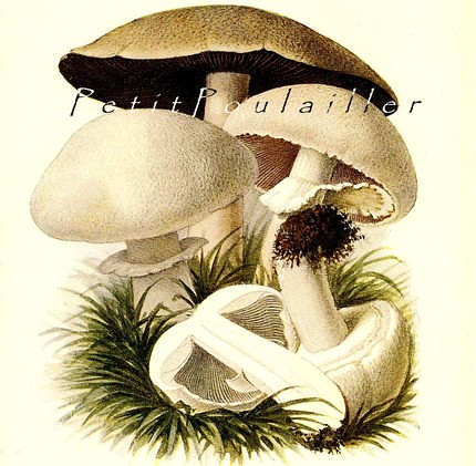 the estate of things chooses white cap mushroom print