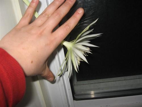 orchidcactus (6)