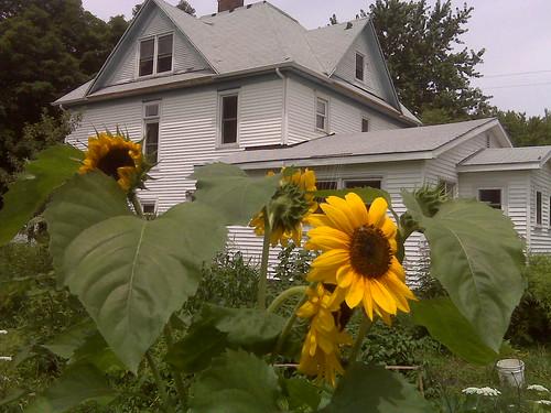 La Casa and sunflowers