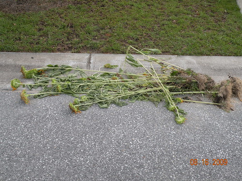Sunflower Graveyard (i.e. the Curb) - There are still a few live ones