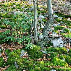 mossy end of the talus slope