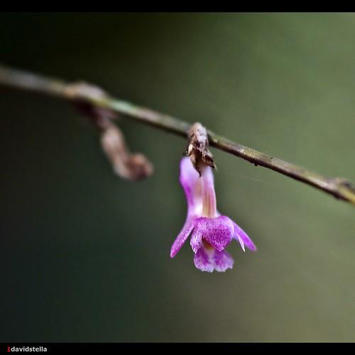 Appendicula undulata var. longicalcarata