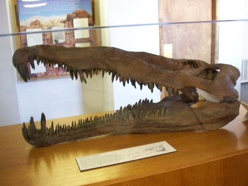 The Petrified Forest Musuems famed Leptosuchus skull.