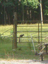 Fox Squirrel on a Fence