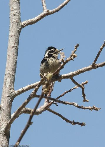 Nuttall's Woodpecker by you.