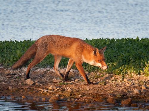 Red Fox Stroll_2