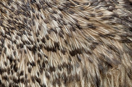 Emu Feathers Close-up