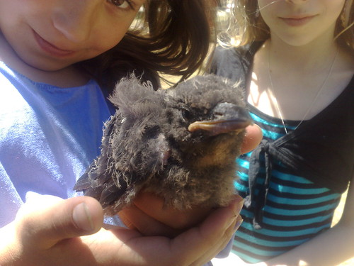 Fluffy the baby magpie