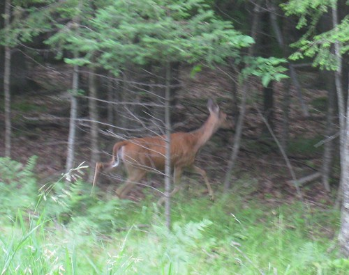 White-tailed Deer are a Common Sight in the UP