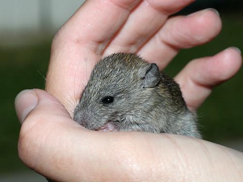 Baby-Rat1