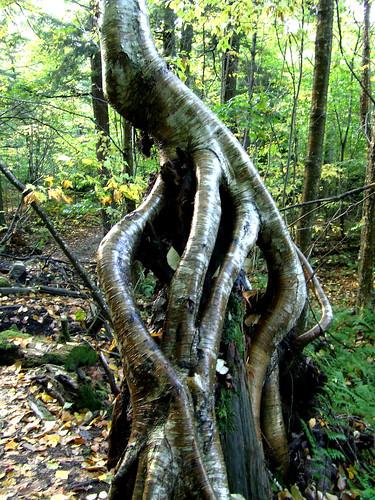 yellow birch beast