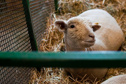 NYS Sheep and Wool Festival