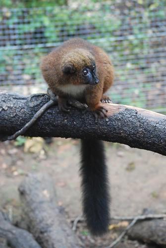 Rotbauchmaki in der Réserve Zoologique de Calviac