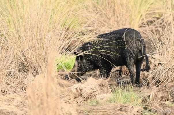 Wild, muddy pig