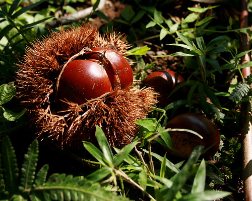 chestnut reveals its hidden treasure