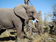 DSC08119 Elephant eating