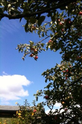 Gorgeous Apples just out of reach!