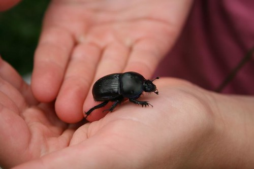 Large beetle, Safari Britain campsite