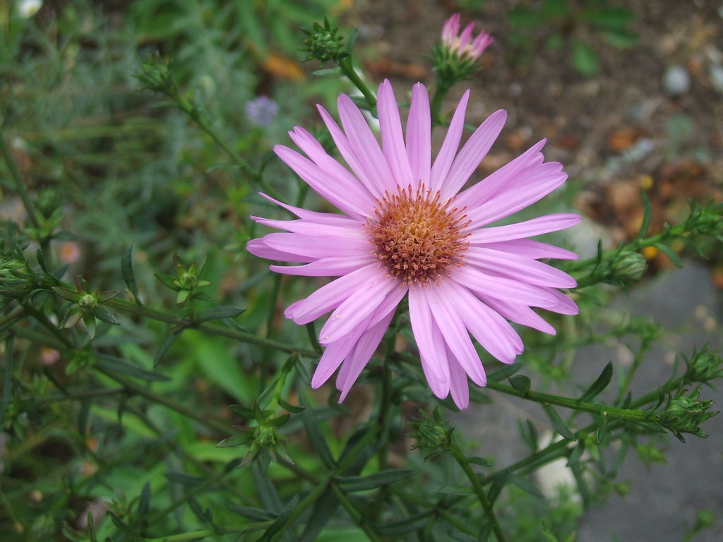 First aster bloom