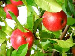 Ireland Orchard Apples-1