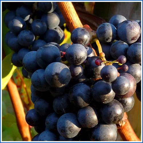 blaue Trauben, roter Wein