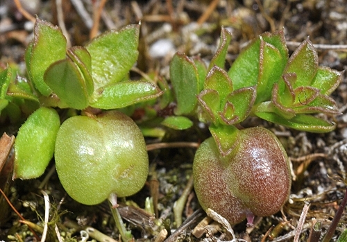 Rhytidosporum inconspicuum (Alpine Appleberry)