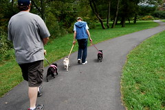 Walking the pugs at the park in Valle Crucis, NC