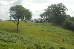 Apple trees in a meadow invaded by Bracken ferns