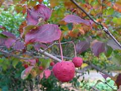 Kousa fruit & foliage