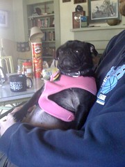 Molly's a laid back mountain pug