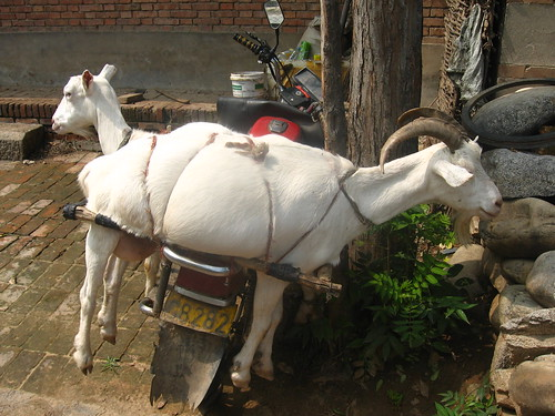 Goats Hitchin' a Ride