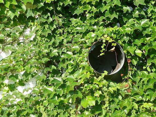 Ivy clad