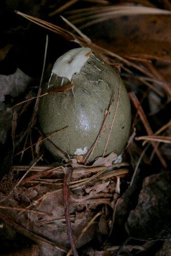 Netted Stinkhorn, Dictyophora duplicata