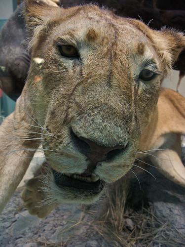 7158 Stuffed Lion, National Museum of Natural History, Washington, DC