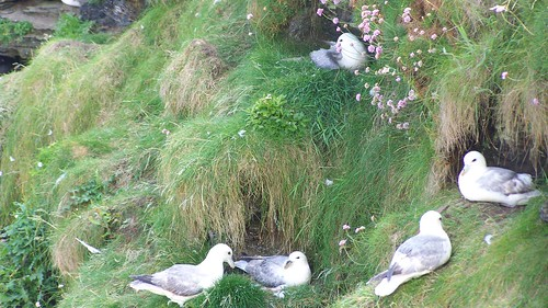 Nesting gulls at Duncansby Head