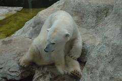 Eisbärin Maika im Tierpark Neumünster