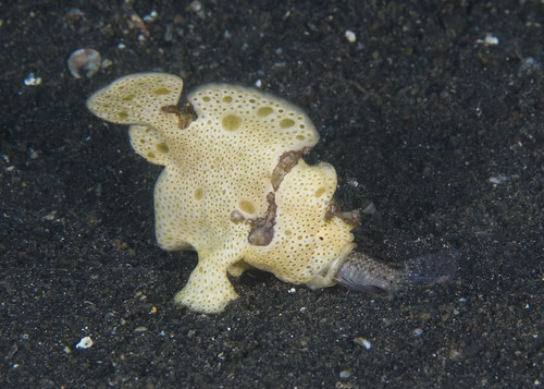 How does a frogfish eat? (3/5)