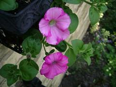 Raspberry Swirl Petunia