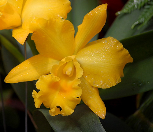 Orchid Sunshine