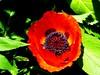 poppy-02
